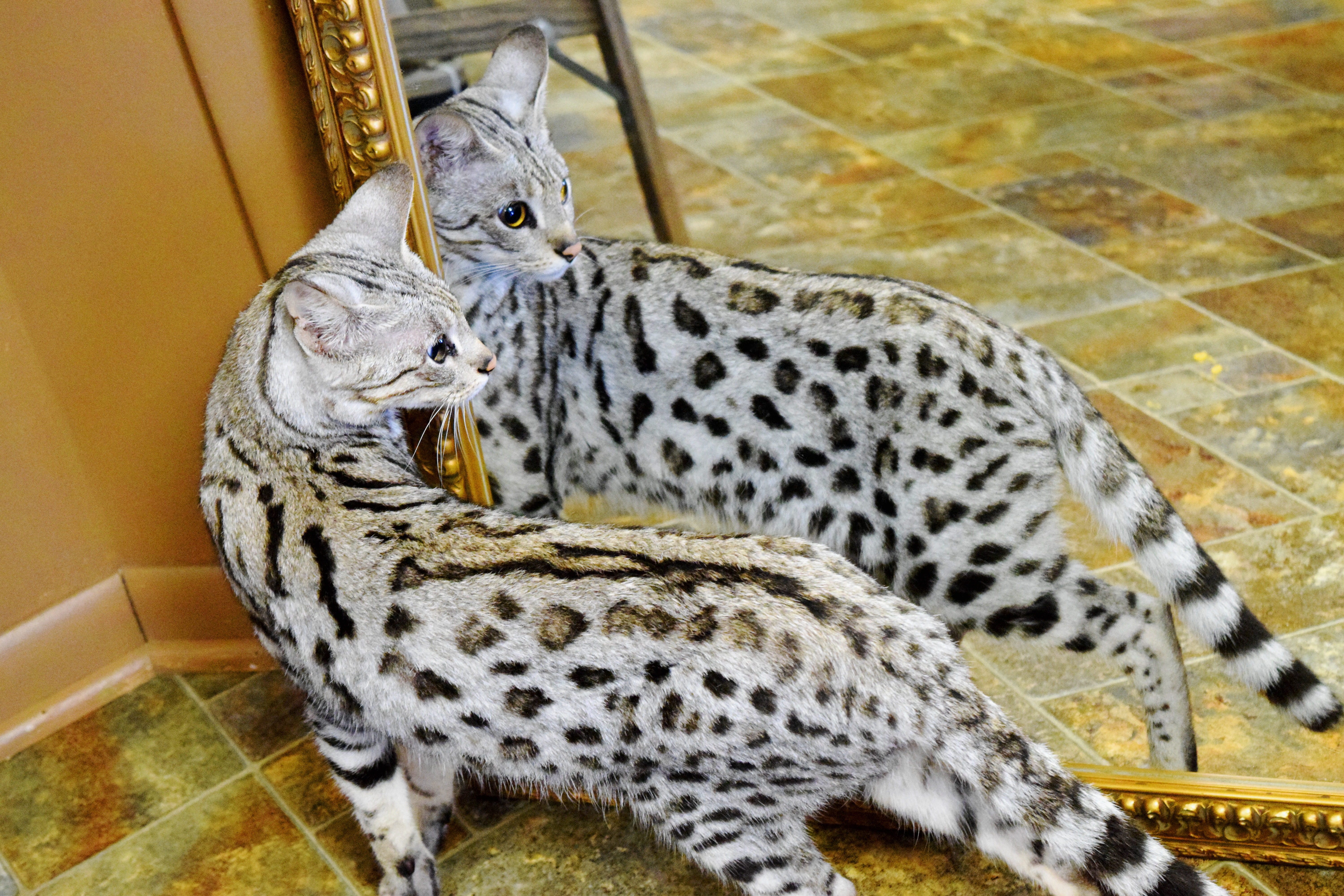 Savannah Cat Breeders - Savannah Cats, Bengal Cats For Sale