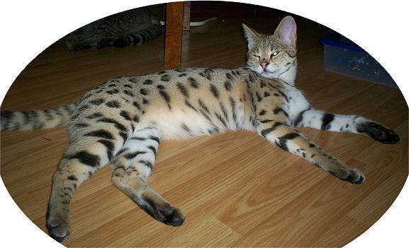 Savannah Cat Breeders Savannah Cats Bengal Cats For Sale